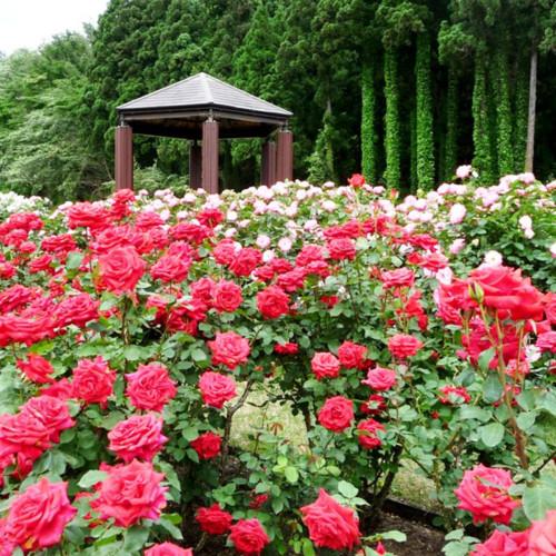 Bara Matsuri 〜Rose Festival~