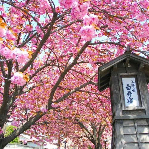 Shiroi Juku Yaezakura (Double Cherry Blossoms) Matsuri