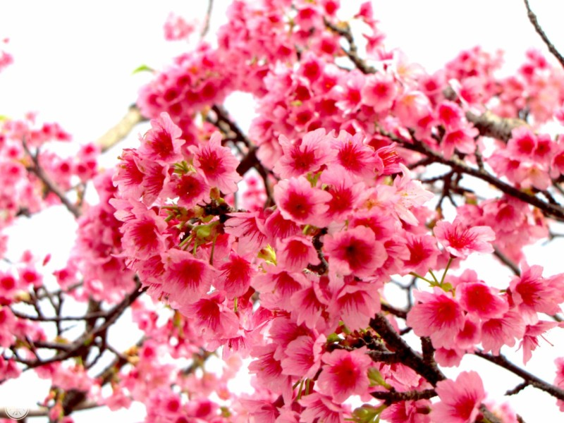 135 Reh Nago Sakura Matsuri